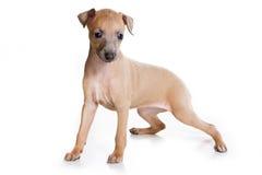 Filhote de cachorro do galgo italiano Fotos de Stock Royalty Free