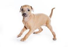Filhote de cachorro do galgo italiano Foto de Stock
