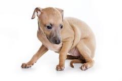 Filhote de cachorro do galgo italiano Imagem de Stock Royalty Free