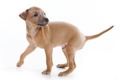 Filhote de cachorro do galgo italiano Imagens de Stock