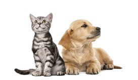 Filhote de cachorro do golden retriever que encontra-se ao lado do gatinho britânico de Shorthair Foto de Stock