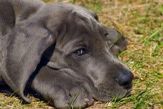 Filhote de cachorro do grande dinamarquês Imagem de Stock