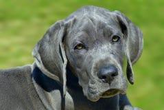 Filhote de cachorro do grande dinamarquês Fotos de Stock Royalty Free