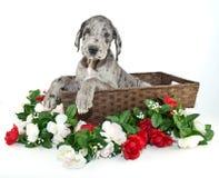 Filhote de cachorro do grande dinamarquês Fotografia de Stock