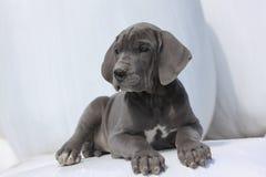Filhote de cachorro do grande dinamarquês Fotografia de Stock Royalty Free
