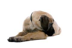 Filhote de cachorro do grande dinamarquês Imagens de Stock Royalty Free