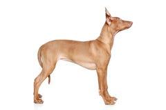 Filhote de cachorro do hound do Pharaoh na cremalheira fotografia de stock royalty free