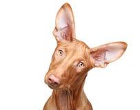 Filhote de cachorro do hound do Pharaoh. Retrato do Close-up imagem de stock