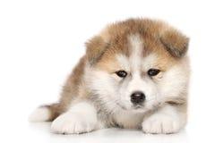 Filhote de cachorro do inu de Akita imagem de stock
