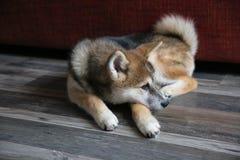 Filhote de cachorro do inu de Akita Imagens de Stock Royalty Free
