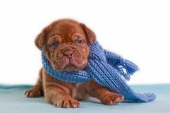 Filhote de cachorro do inverno Imagem de Stock