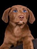 Filhote de cachorro do laboratório com características humanas Imagem de Stock