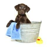 Filhote de cachorro do laboratório que começ um banho Imagem de Stock