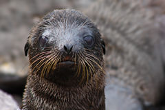 Filhote de cachorro do leão de mar Fotografia de Stock
