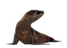 Filhote de cachorro do leão-marinho (3 meses) imagens de stock