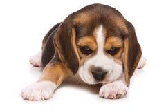 Filhote de cachorro do lebreiro Foto de Stock Royalty Free
