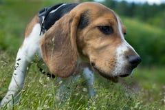 Filhote de cachorro do lebreiro Imagens de Stock Royalty Free
