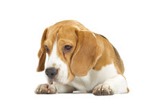 Filhote de cachorro do lebreiro isolado no fundo branco imagens de stock royalty free