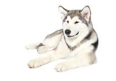 Filhote de cachorro do malamute do Alasca imagens de stock royalty free