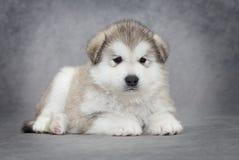 Filhote de cachorro do malamute do Alasca imagens de stock