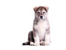 Filhote de cachorro do malamute do Alasca de encontro ao branco imagem de stock royalty free
