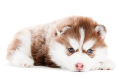Filhote de cachorro do marrom do cão de puxar trenós Siberian isolado Fotos de Stock Royalty Free