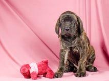 Filhote de cachorro do Mastiff Fotografia de Stock