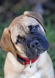 Filhote de cachorro do Mastiff de Bull Imagem de Stock