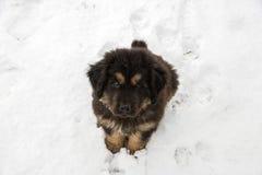 Filhote de cachorro do Mastiff tibetano Foto de Stock Royalty Free