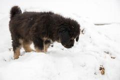 Filhote de cachorro do Mastiff tibetano Foto de Stock