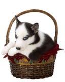 Filhote de cachorro do Natal Imagem de Stock Royalty Free