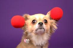 Filhote de cachorro do palhaço da chihuahua Fotografia de Stock
