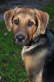 Filhote de cachorro do pastor alemão Fotografia de Stock