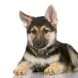 Filhote de cachorro do pastor alemão Foto de Stock