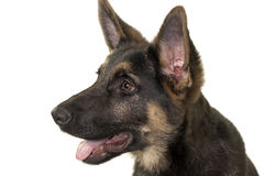 Filhote de cachorro do pastor alemão Imagem de Stock