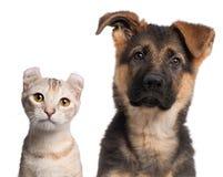 Filhote de cachorro do pastor alemão, 3 meses velhos e a Imagens de Stock Royalty Free