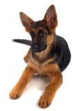 Filhote de cachorro do pastor alemão Fotografia de Stock Royalty Free