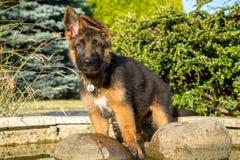 Filhote de cachorro do pastor alemão em uma lagoa do jardim Fotografia de Stock Royalty Free