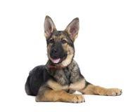 Filhote de cachorro do pastor alemão na frente do fundo branco Imagens de Stock Royalty Free