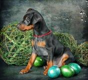 Filhote de cachorro do Pinscher diminuto Fotos de Stock
