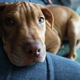 Filhote de cachorro do pitbull Imagens de Stock