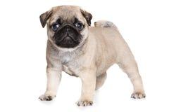 Filhote de cachorro do Pug Imagens de Stock