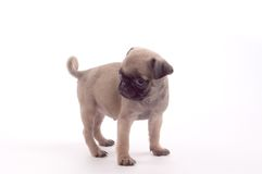 Filhote de cachorro do Pug Fotografia de Stock Royalty Free