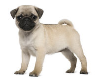 Filhote de cachorro do Pug, 3 meses velho, posição Fotografia de Stock Royalty Free