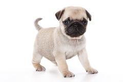 Filhote de cachorro do Pug Fotografia de Stock