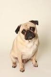 Filhote de cachorro do Pug Fotos de Stock