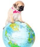 Filhote de cachorro do pug no globo foto de stock royalty free