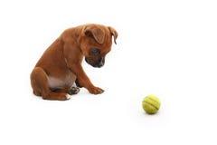 Filhote de cachorro do pugilista de Brown com uma bola verde Fotografia de Stock