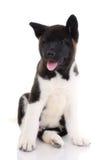 Filhote de cachorro do puro-sangue de Akita Fotos de Stock