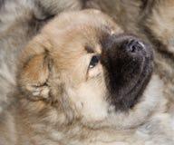 Filhote de cachorro do puro-sangue de uma comida Imagem de Stock Royalty Free